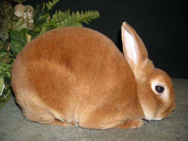 10 Mini Rex Bunnies In Tampa Florida Rabbits For Sale