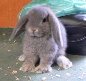 bunny rabbits for sale tampa florida rabbits for sale in florida