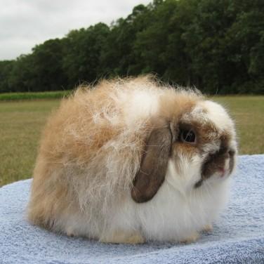 7 American Fuzzy Lop Rabbits For Sale Orlando Fl Rabbits