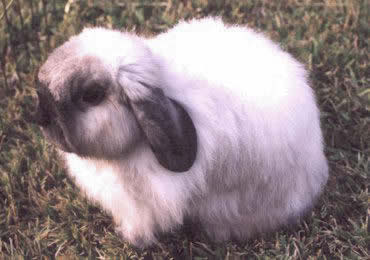 American Fuzzy Lop Rabbits Rabbits For Sale In Florida