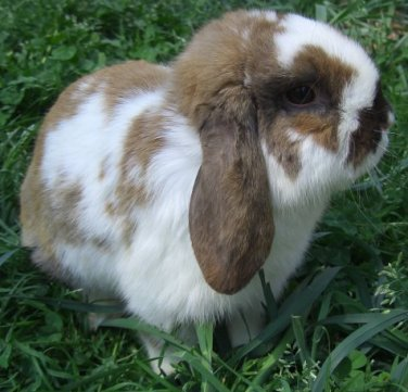 Holland Lop Rabbits Rabbits For Sale In Florida
